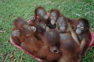 baby-orangutans